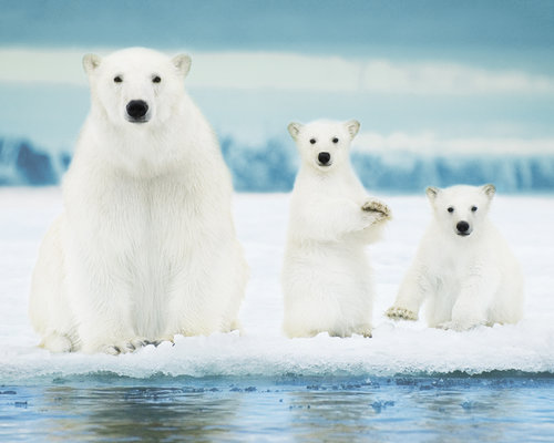 Polar Bears Family Mini Poster