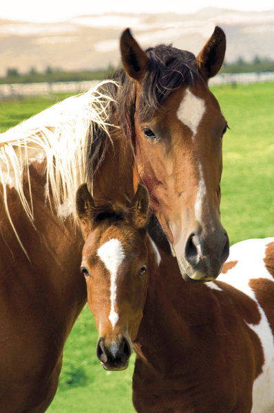 Horses Mare and Foal Maxi Poster